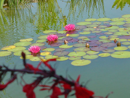 Pond and blooming lilly pads